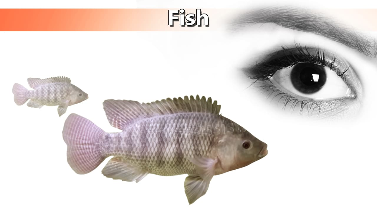 Fish for Healthy Eyes For Healthy Eyes