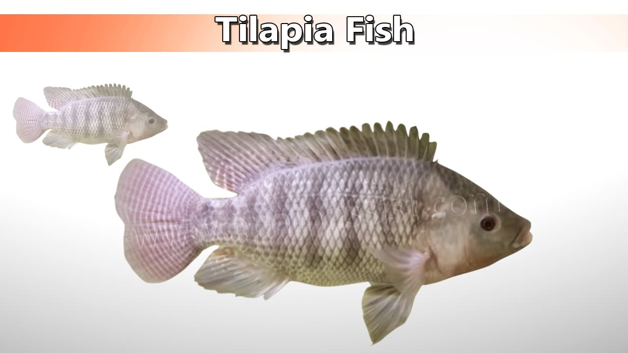 Tilapia Fish Good for High Blood Pressure