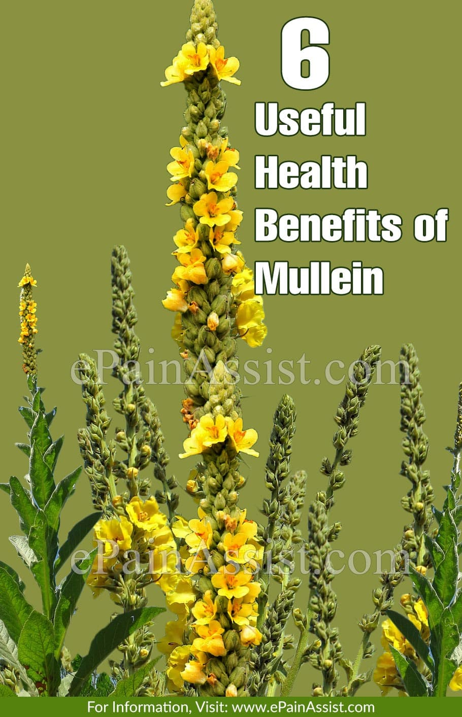 6 Useful Health Benefits of Mullein