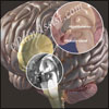 Functions of Hypothalamus & What Happens if it Gets Damaged?