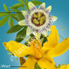 Passion Flower & St John's Wort for Anxiety & Depression