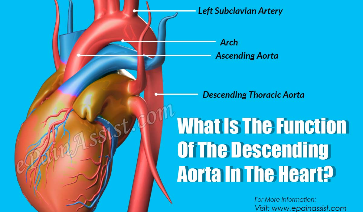 What Is The Function Of The Descending Aorta In The Heart?