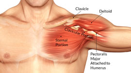 Muscles And Tendons Pictures