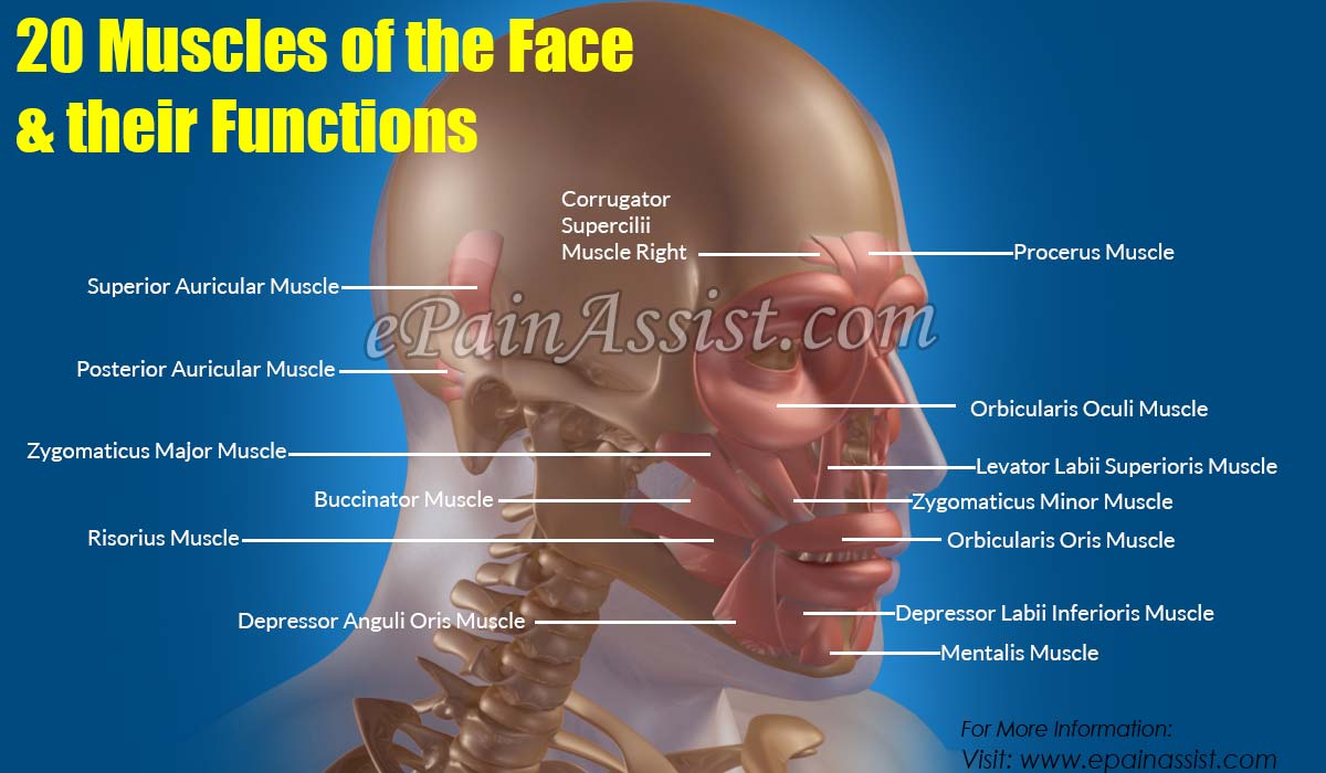 20 Muscles of the Face & their Functions