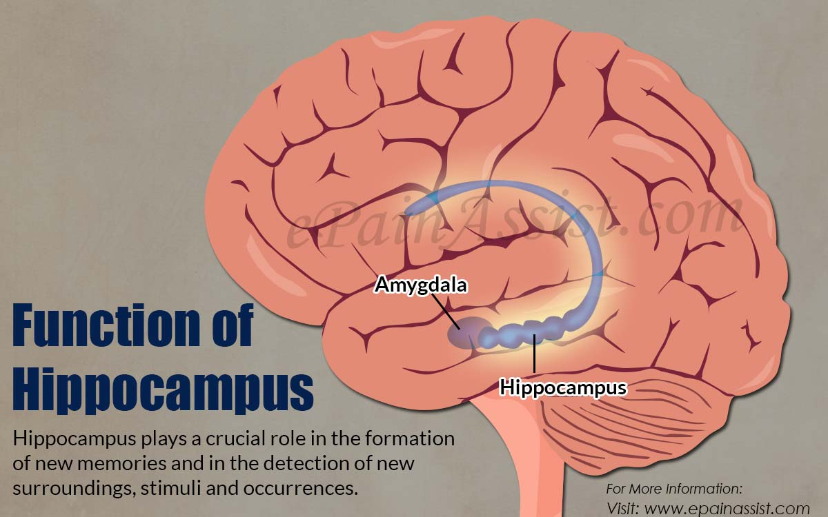 Function of Hippocampus|What Happens if Hippocampus Gets ...