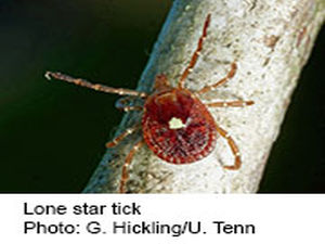 Lone Star Ticks Don't Give You Lyme, But Can Still Make You Ill