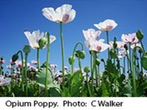 Opium Poppy Genome Research May Aid Painkiller Production