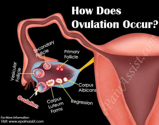 How Does Ovulation Occur?