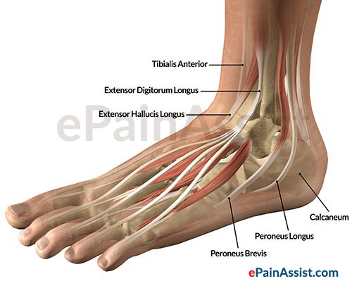 Ankle Joint Tendons