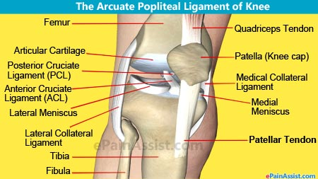 Knee joint anatomybonescartilagesmusclesligamentstendons quadriceps arcuate popliteal ligament ccuart Image collections