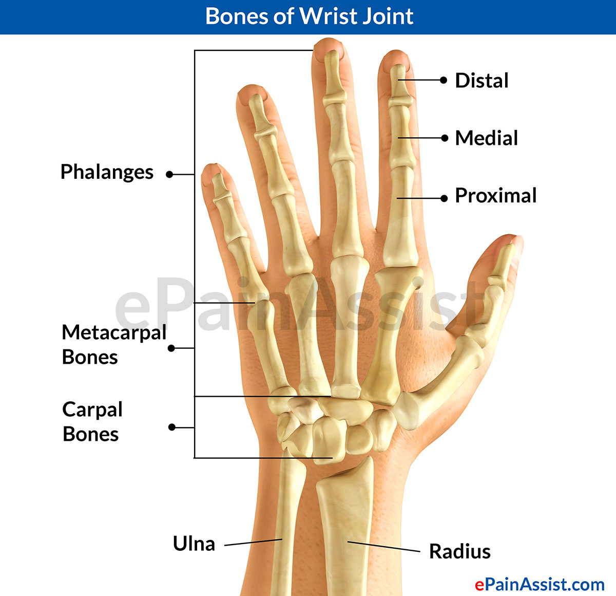 Metacarpal bone: structure, function, injury 7