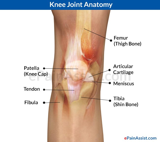 Anatomical Distribution Of Knee Joint Painmovementscartilages
