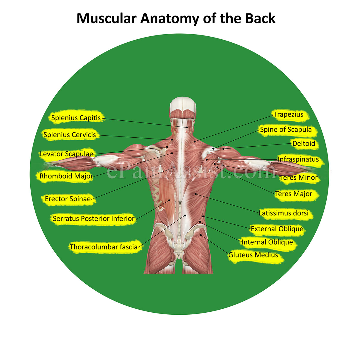 Low Back Pain Or Lumbagoanatomy Causes Symptoms Treatment Pt