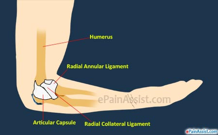 Elbow Joint Anatomy|Bones|Synovial Membrane|Ligaments|Tendons ...