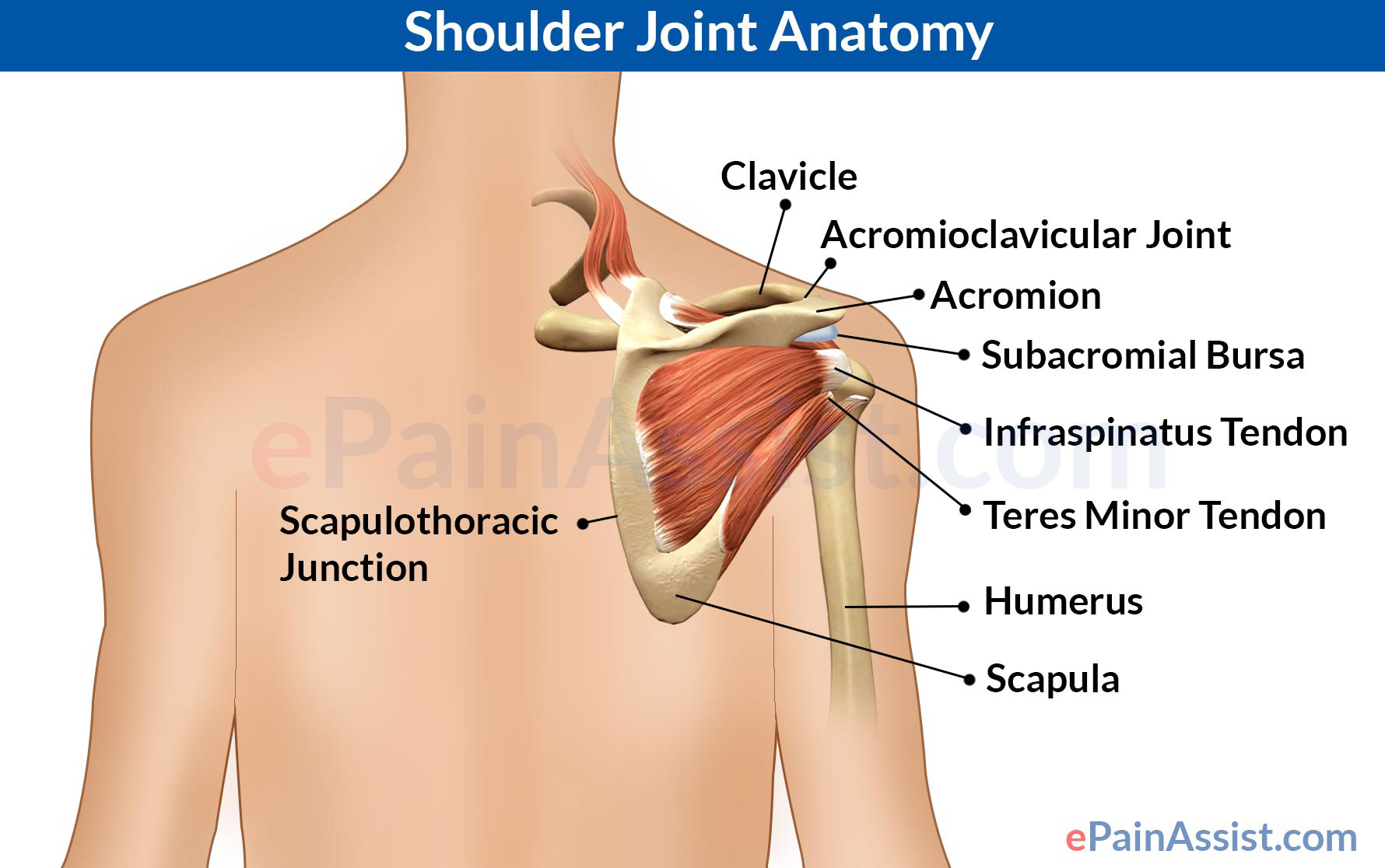 Shoulder Joint Anatomy|Skeletal System|Cartilages|Ligaments|Muscles ...