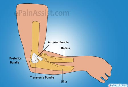 Ulnar or Medial Collateral Ligament