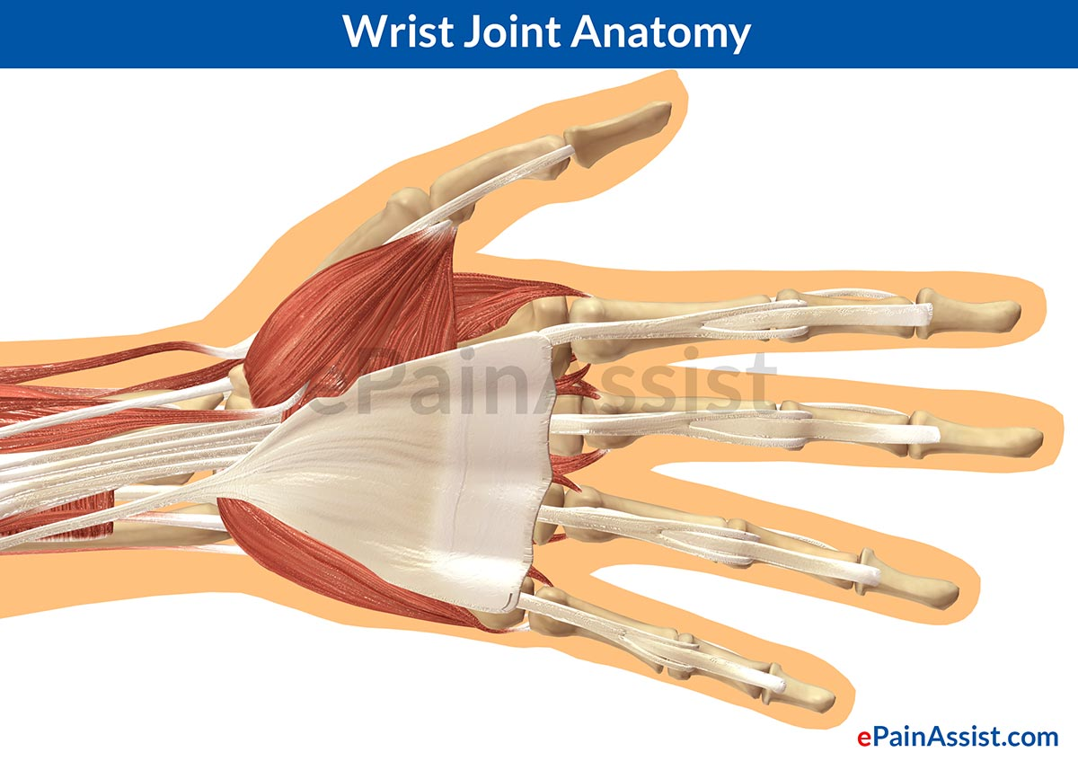 Wrist Joint Anatomy: Bones, Movements, Ligaments, Tendons- Abduction, Flexion