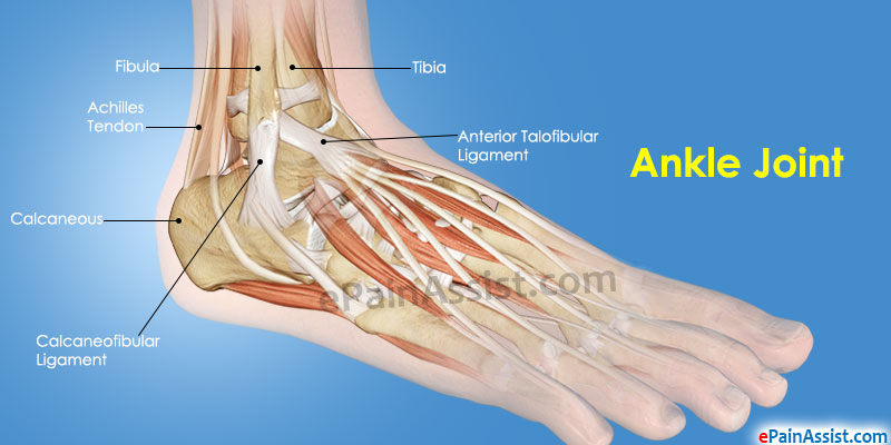 Ankle anatomy muscles