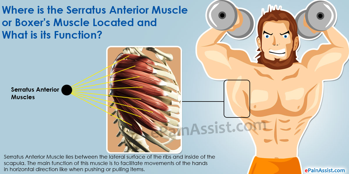 Serratus Anterior Muscle or Boxer's Muscle