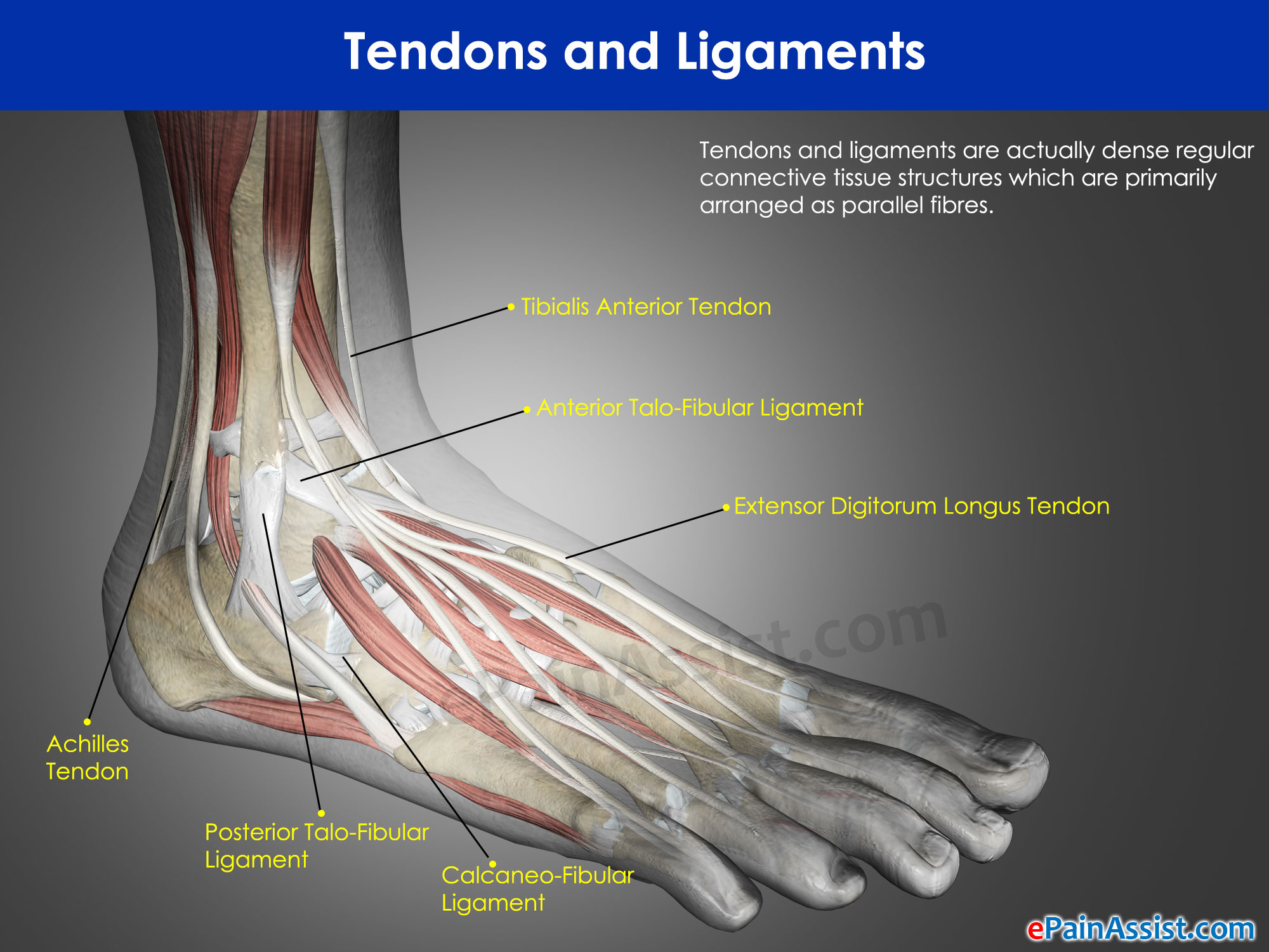Tendons and Ligaments|Injuries|Recovery|Difference|Function