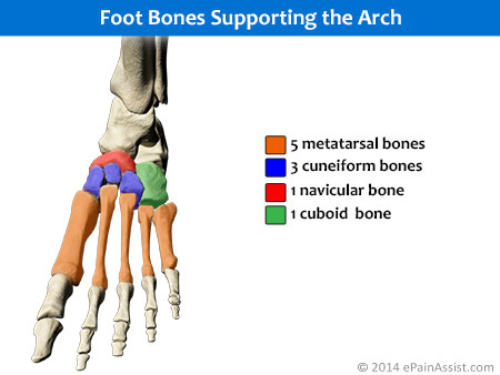 Weight Transmission Through Arch of the Foot