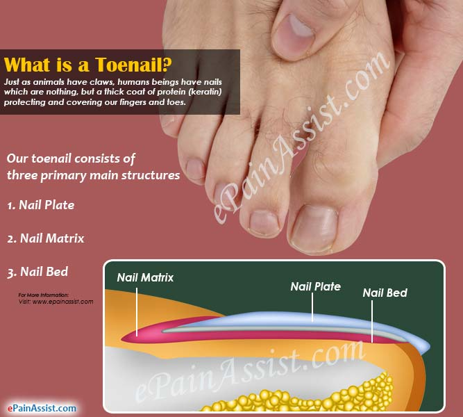 What is a Toenail & Why Does it Stop Growing?