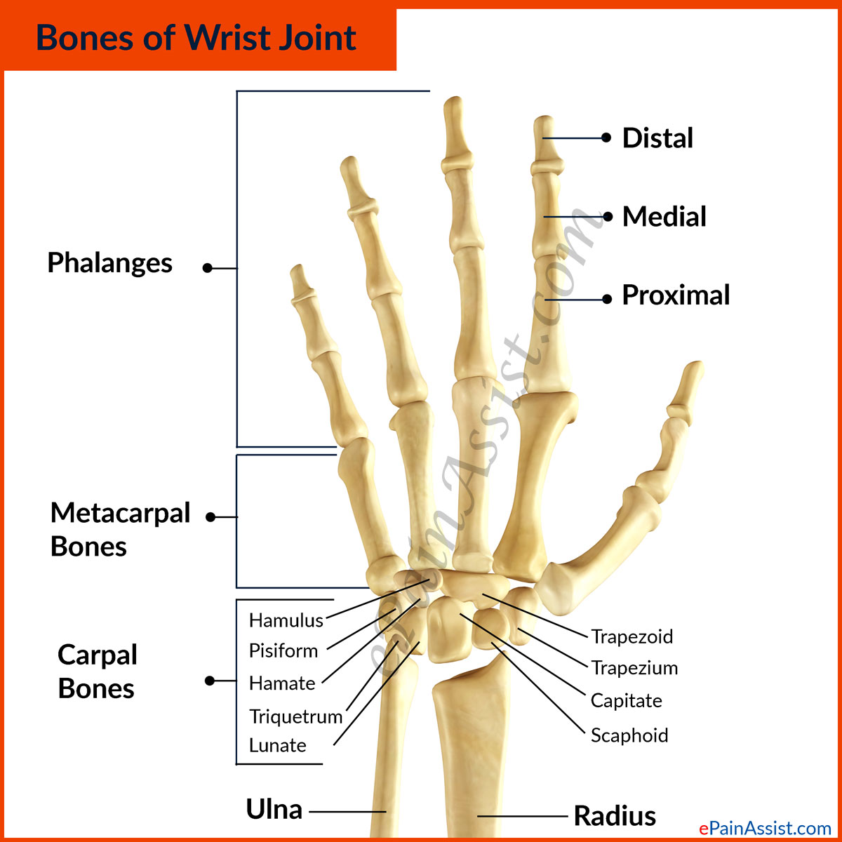 Wrist Joint Anatomy|Bones, Movements, Ligaments, Tendons- Abduction ...