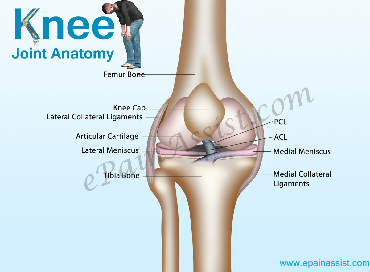 Knee Joint Anatomybonescartilagesmusclesligamentstendons Quadriceps