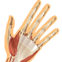 Wrist Joint Anatomy
