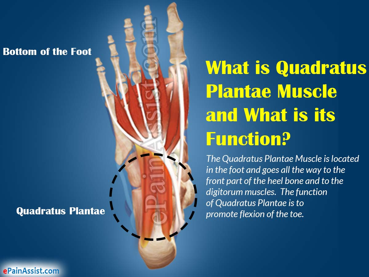 What is Quadratus Plantae Muscle and What is its Function?