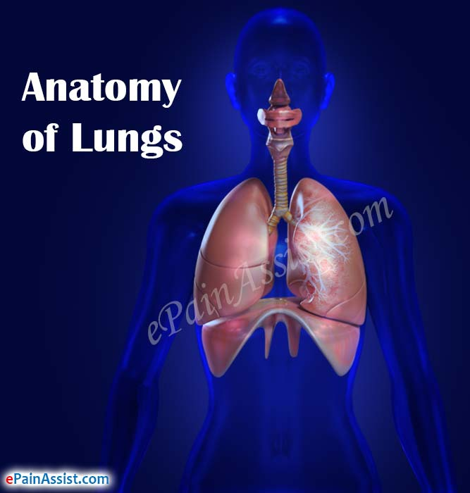 Anatomy Of Lungs Its Functionsrole Of Lungs In Respirations