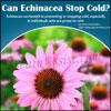 Can Echinacea Stop Cold?