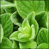 Oregano: Nutritional Facts, Health Benefits, How To Use Oregano, Recipe Tips