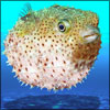Puffer Fish Poisoning: Symptoms, Causes, Treatments