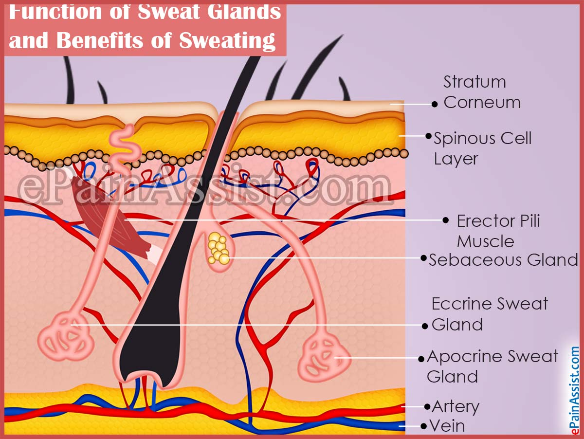 of sweat glands and benefits of sweating, Human Body