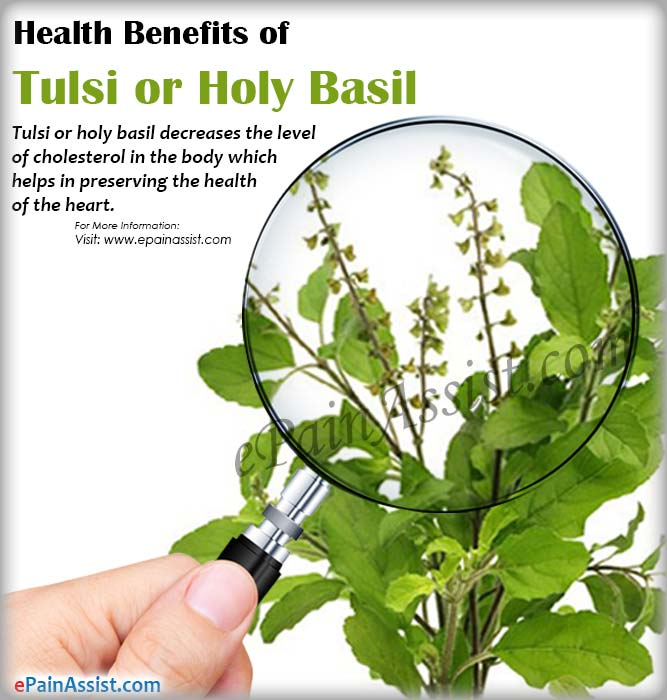 Health Benefits of Tulsi or Holy Basil (Ocimum sanctum)