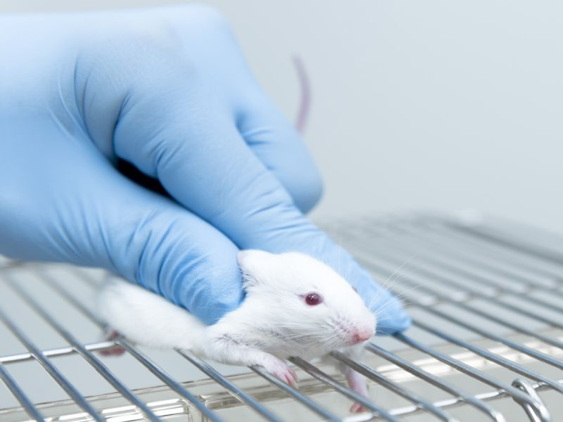 In study, mice regained memory skills after transfusion of human umbilical cord blood