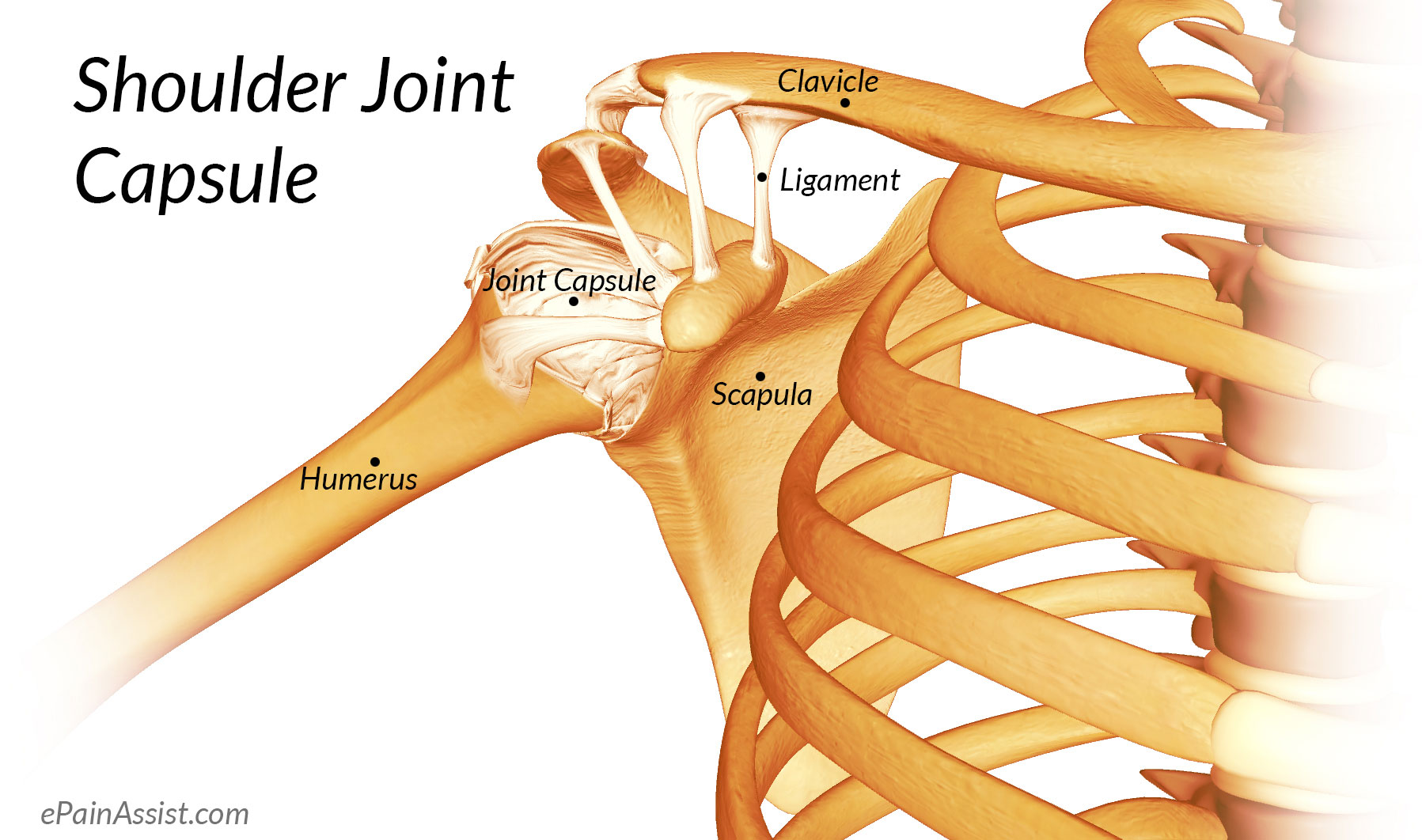 Shoulder Joint Anatomy|Skeletal System|Cartilages ...