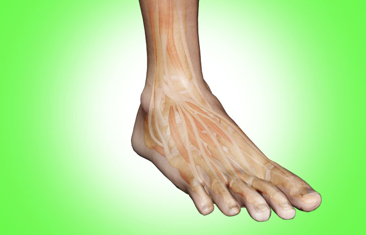 Ankle Joint Anatomy: Bones, Joints, Ligaments, Tendons- Anterior ...