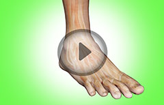 Ankle Joint Anatomy: Bones, Joints, Ligaments, Tendons- Anterior, Posterior