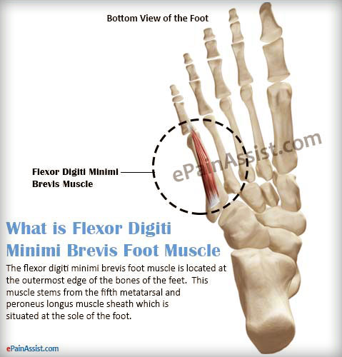 What is Flexor Digiti Minimi Brevis Foot Muscle and What is its Function?