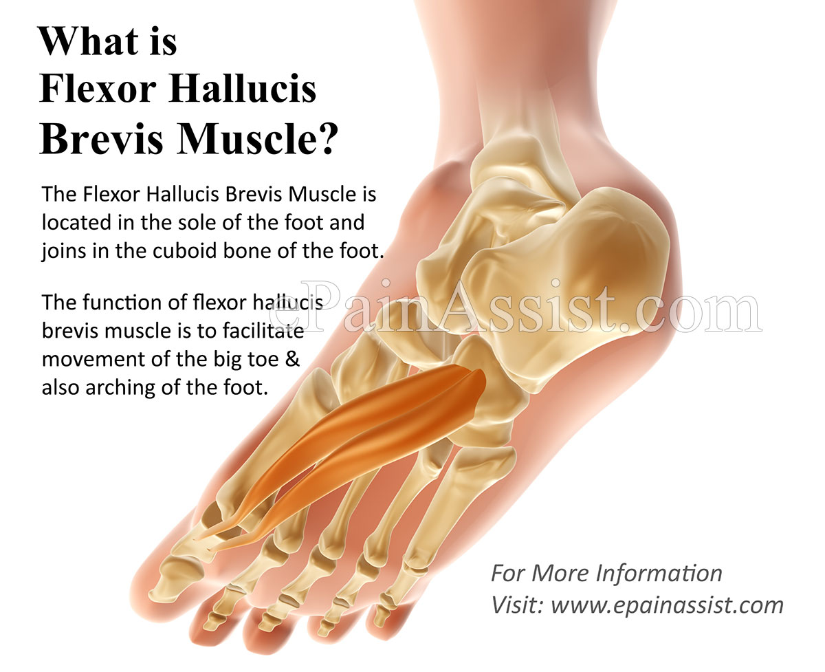 What is Flexor Hallucis Brevis Muscle and What is its Function?