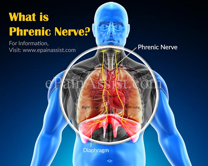 What is Phrenic Nerve ?